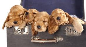 Free Spaniel  Puppy Stock Photo - 38671060