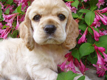 Spaniel puppy. Cocker spaniel puppy (6 weeks old, champion stock Stock Photos