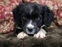 Spaniel Puppy Royalty Free Stock Photos