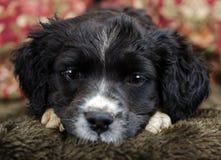 Spaniel Puppy Close up Stock Photos