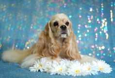 Spaniel puppy with daisies. American Cocker Spaniel lying down in the daisies - champion bloodlines Royalty Free Stock Photo