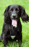 Spaniel puppy dog Stock Photography