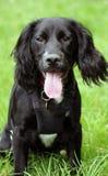 Spaniel puppy dog stock photography