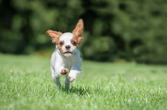 Spaniel puppy running Stock Photography