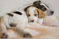 Spaniel puppy sleeping in front Stock Image