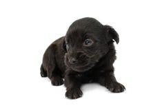 Spaniel puppy Royalty Free Stock Photo
