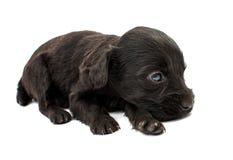 Spaniel puppy Stock Photos