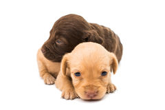 Spaniel puppy Stock Photography