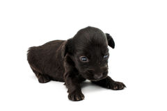 Spaniel puppy Stock Images