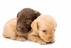 Spaniel puppy Stock Image