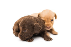 Spaniel puppy Royalty Free Stock Photography