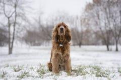 Spaniel rosso che si siede nella neve Immagine Stock