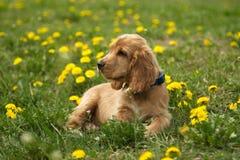 Spaniel rosso del bello cucciolo sull'erba verde Fotografie Stock