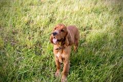 Spaniel rosso sull'erba verde Fotografia Stock