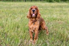 Spaniel rosso sull'erba verde Fotografia Stock Libera da Diritti