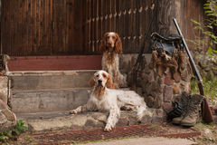 Spaniel and setter with hunting bird and ammunition Royalty Free Stock Images