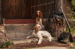 Spaniel and setter with hunting bird and ammunition Stock Photo