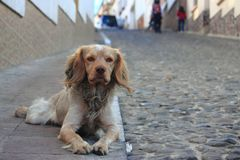Spaniel on the sidewalk in Potosi Royalty Free Stock Images