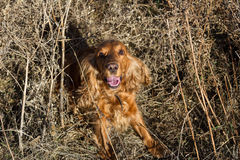 Spaniel sitting in dry grass Stock Image