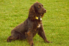 Spaniel sitting in park. Field spaniel sitting down in park Stock Photos