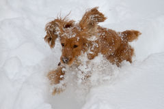 Spaniel in the snow Royalty Free Stock Photography
