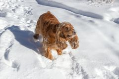 Spaniel in the snow royalty free stock photos