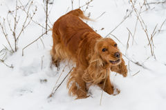 Spaniel in the snow Stock Images