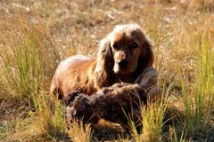 Spaniel with soft toy Stock Images