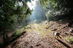 Spaniel springer in forest. A spaniel springer runs through a forest scene Stock Photography