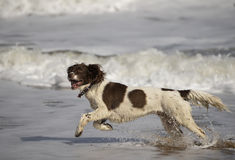 Spaniel Royalty Free Stock Photos