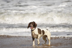 Spaniel. Springer spaniel playing in the sea royalty free stock images