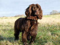 Spaniel Royalty Free Stock Images