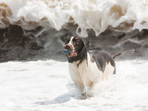 Spaniel in surf Stock Photography