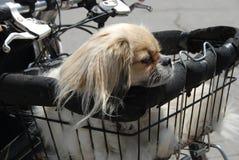 Spaniel takes a ride Stock Image