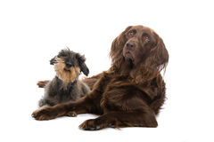 Spaniel and terrier dogs Royalty Free Stock Photos