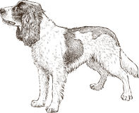 Spaniel. Vector drawing of a spaniel on a walk Royalty Free Stock Photos
