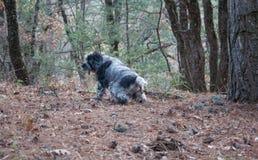Spaniela łowiecki pies siusia w jesień lesie Zdjęcia Royalty Free