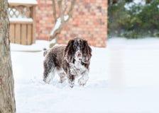 Spaniela pies w śniegu Zdjęcia Stock