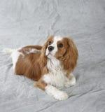 Spanielhond Royalty-vrije Stock Foto