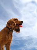 Spanielhund Stockfoto