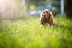 Spanielhundaveln är i gräset under solljus Arkivfoton