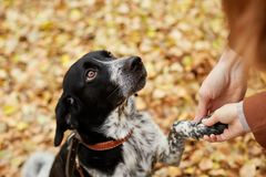 Spanielhunden med långa öron går i hösten parkerar och blickar på Arkivbilder