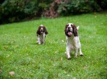 2 Spaniels английских Спрингера выслеживают положение на траве Стоковые Фотографии RF