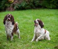 2 Spaniels английских Спрингера выслеживают сидеть на траве Смотреть к теннисному мячу Стоковая Фотография
