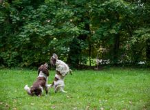 2 Spaniels английских Спрингера выслеживают ход и играть на траве Играть с теннисным мячом Стоковые Изображения