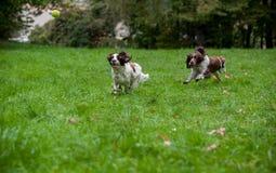 2 Spaniels английских Спрингера выслеживают ход и играть на траве Играть с теннисным мячом Стоковая Фотография