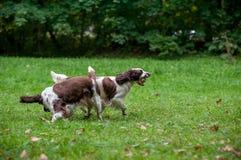 2 Spaniels английских Спрингера выслеживают ход и играть на траве Играть с теннисным мячом Шарик в рте Стоковое фото RF