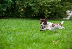 2 Spaniels английских Спрингера выслеживают ход и играть на траве Играть с теннисным мячом Стоковая Фотография RF