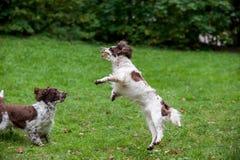 2 Spaniels английских Спрингера выслеживают ход и играть на траве Играть с теннисным мячом Стоковые Фотографии RF