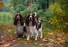 3 Spaniels английских Спрингера сидя на траве крупный план предпосылки осени красит красный цвет листьев плюща померанцовый Стоковая Фотография RF
